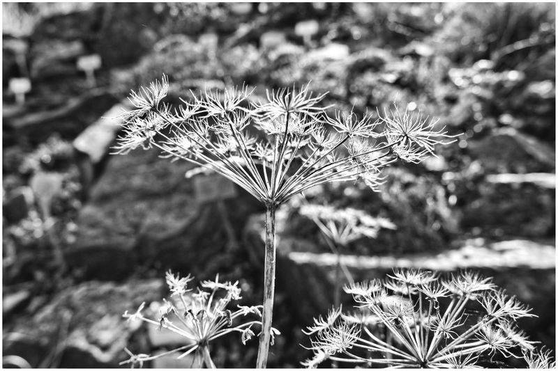 Botanical Garden | Growth Nature Plant Beauty In Nature Fragility Focus On Foreground Outdoors Close-up Bnw_collection Schwarz & Weiß Landscape_Collection Blackandwhite Photography Nature Black And White Flower Black And White The Week On EyeEm Natur Flowers_collection