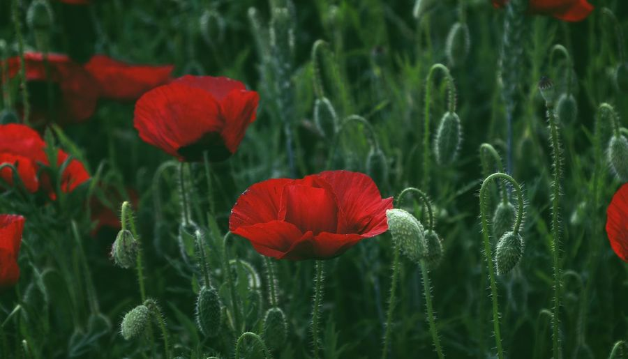 High Angle View Taking Photos Feeling Creative OpenEdit EyeEm Best Shots Freshness Light And Shadow Flower Collection EyeEm Nature Lover Nature Flower Flower Head Poppy Red Rural Scene Leaf Summer Close-up Plant Blooming Wildflower