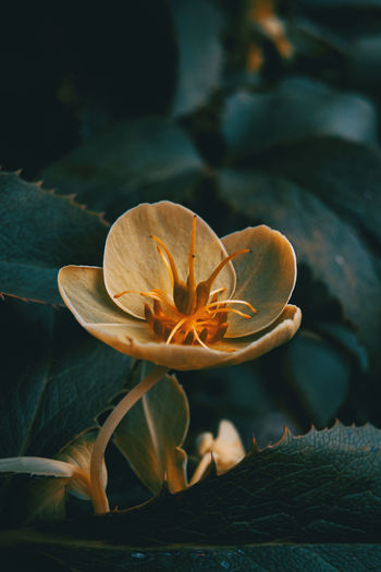 Beauty In Nature Close-up Flower Flower Head Flowering Plant Fragility Freshness Growth Inflorescence Leaf Lily Lotus Water Lily Nature No People Petal Plant Plant Part Pollen Vulnerability  Water