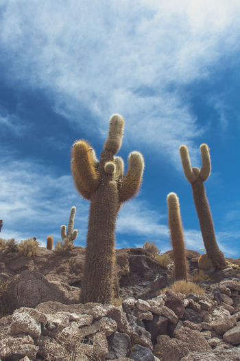 Isla Incahuasi - The Bolivian Salt Flats Arid Climate Beauty In Nature Blue Cacti Cactus Cactus Cloud Cloud - Sky Cloudy Day Growing Growth Isla Incahuasi Nature No People Outdoors Plant Scenics Sky Stone - Object The Past Thorn Tranquil Scene Tranquility
