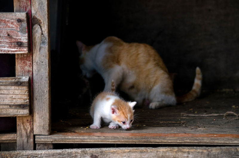 a little kitten starts to explore while mamma cats back is turned Farm Animals Pets Corner Animal Themes Barn Cats Cat Close-up Day Domestic Animals Domestic Cat Feline Kitten Mammal Mother Cat With Kitten Old Barn Outdoors Pets Tabby Cat Two Animals