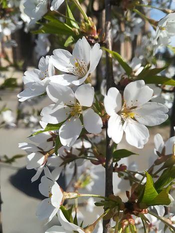 The Purist (no Edit, No Filter) Sakura In Serbia EyeEm Best Shots EyeEmNewHere EyeEm Nature Lover Eye4photography  Flower Head Tree Flower Branch Springtime Petal Blossom White Color Botany Close-up