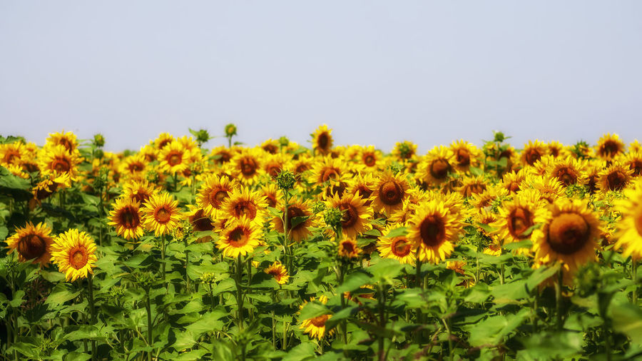View of yellow flowering plants on field against clear sky
