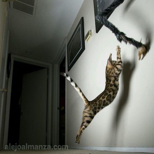 Cat Cats Kitten Bengal Cat