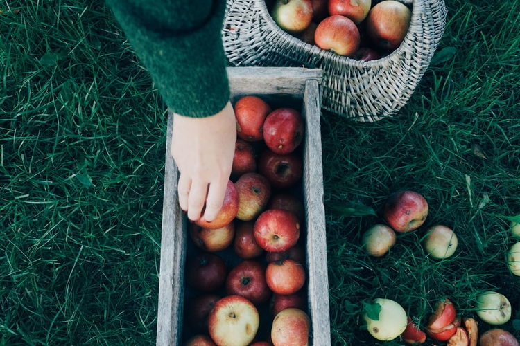 Cropped hands of woman placing apples in container on grassy field