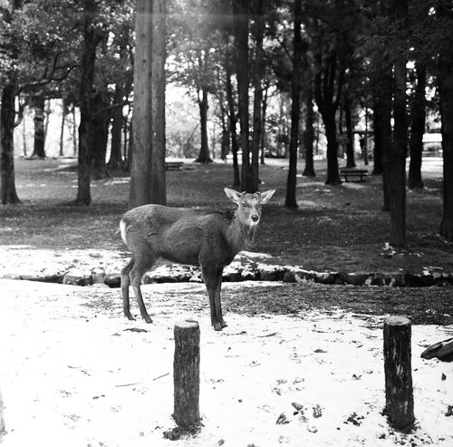 Animals In The Wild Deer Film Nature Animal Animal Themes Animal Wildlife Black And White Blackandwhite Blackandwhite Photography Deers Film Photography Filmcamera Filmisnotdead Forest Hasselblad Mammal Monochrome Natur Nature_collection One Animal Outdoors Snow Tree Tree Trunk