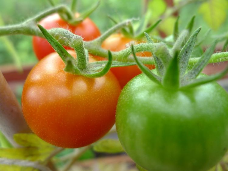 Ripening tomatoes Close-up Dieting Food Food And Drink Freshness Fruit Green Color Greenhouse Growth Healthy Eating Indoors  Leaf Nature No People Organic Plant Red Ripe Ripening Selective Focus Tomato Tomatoes Vegetable Wellbeing