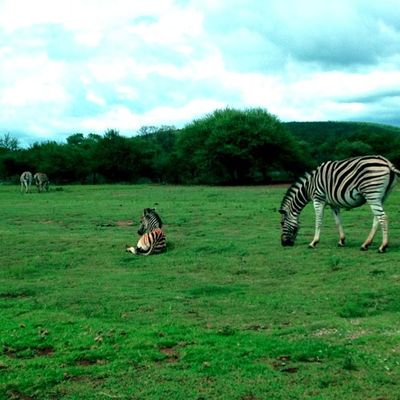 An African Safari: Stripedy Fun! Icatching Onlythe_femme Photooftheday Gang_family Amselcom Primeshots Instauno Igsg Bd Ig_captures Ig_everything Dhexpose Instamasters Ace_ Ig_one Stunning_pics7