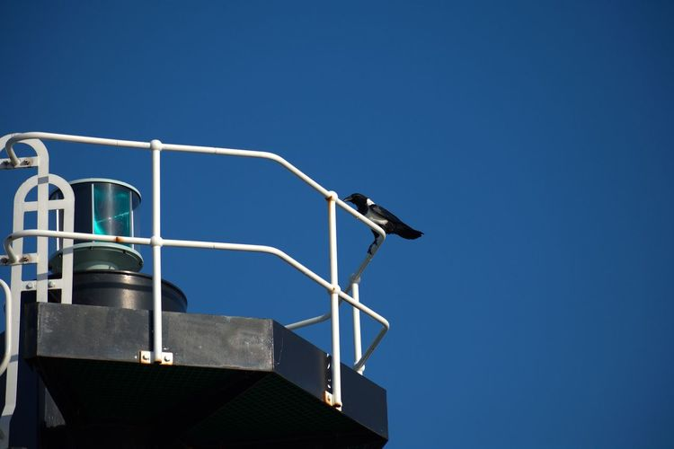 Pied Crow Corvus Albus Bird Pied Crow Blue Sky Clear Blue Sky Light House Clear Sky Blue Sky Tower