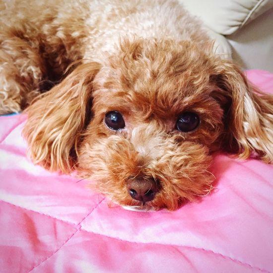 Goodmorning Chilling Cute Cute Pets Cute Dog  I Love My Dog My Pets Toypoodle My Toypoodle Dog