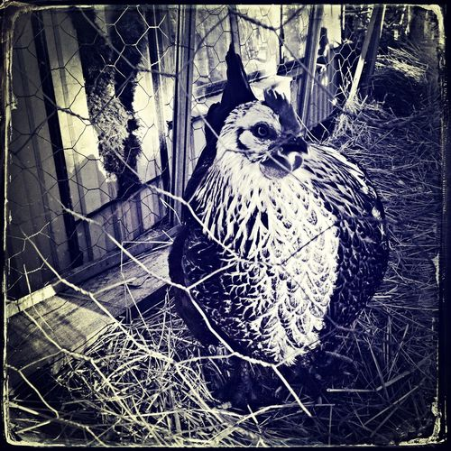 The Hen a tourist attraction at the Christmasmarket in Sweden. Eye4photography