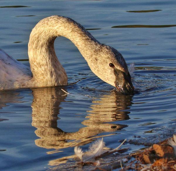 Largest Living Waterfowl Trumpeter Swan One Animal Bird Water Reflection Swan Swan Lake Immature Trumpeter Swan Animals In The Wild Arkansas Swan