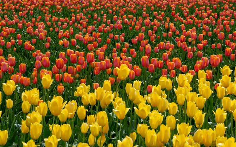 Flower Yellow Flowering Plant Plant Freshness Beauty In Nature Field Tulip Abundance Full Frame Growth Land Backgrounds Day No People Flowerbed Nature Red Fragility Vulnerability  Flower Head Outdoors Springtime