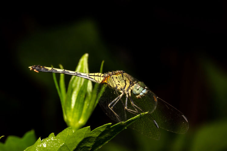 Dragonfly Macro Photography Nature Photography Philippines Travel Wildlife & Nature Wildlife Photography Animal Themes Animal Wildlife Animals In The Wild Close-up Damselfly Dark Background Day Green Color Insect Leaf Macro Nature No People One Animal Outdoors