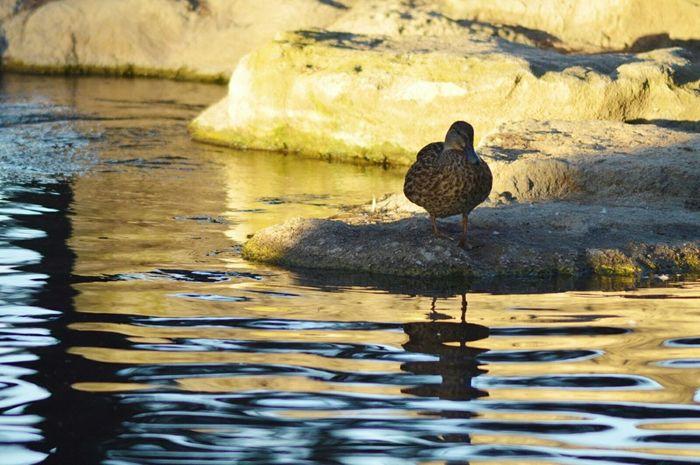 DuckPark  Photography Duckphotos Photos Ducks Enjoying Life