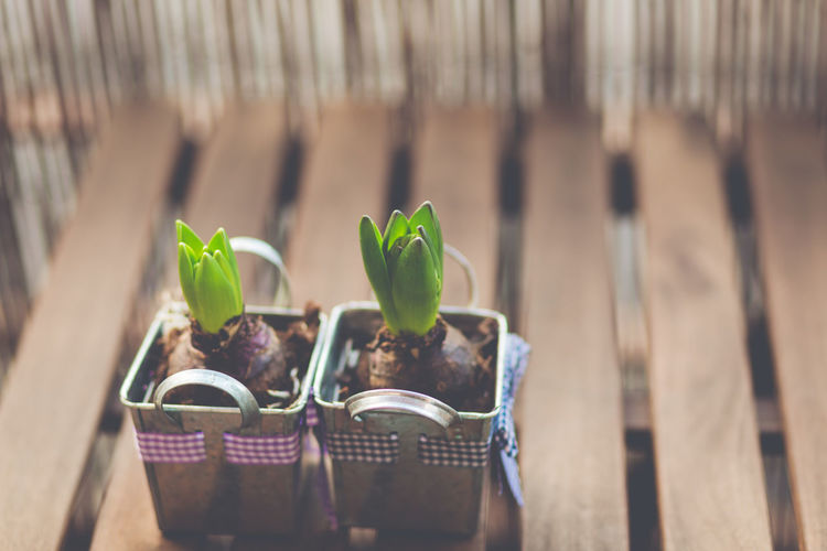 35/365 Beginnings Close-up Day Freshness Growth Hyacinth Indoors  Leaf Nature No People Plant Potted Plant Springtime Table