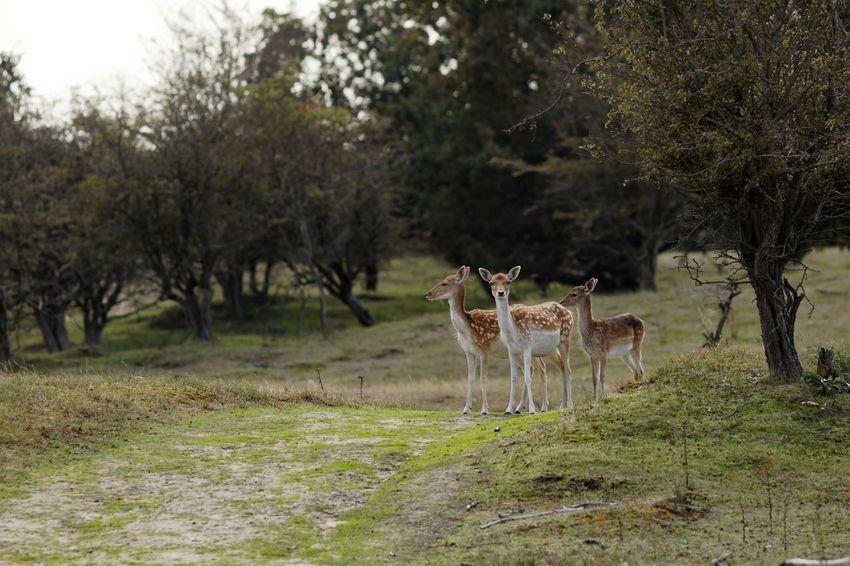 Fallow Deer Dunes Of Holland Deer Tree Plant Animal Wildlife Animal Mammal Animal Themes Animals In The Wild Outdoors