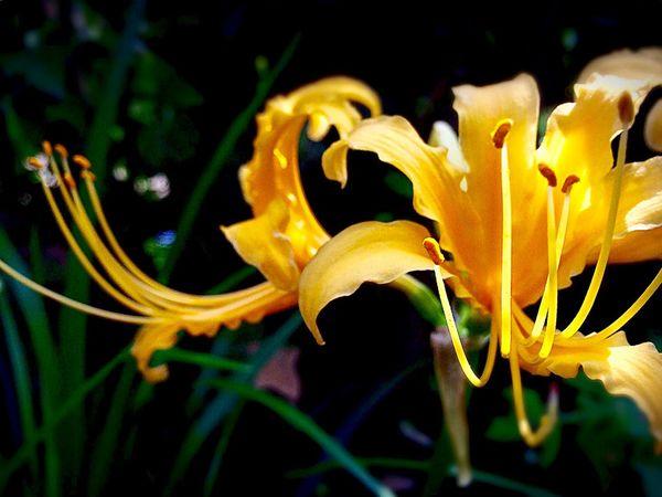 黄色 曼珠沙華 Spiderlily In Bloom Yellow Beauty In Nature Iphonephotography Nature Photography Plant Blossom Autumn My Favorite  Lycoris 花追い September 2016 Fukuoka,Japan