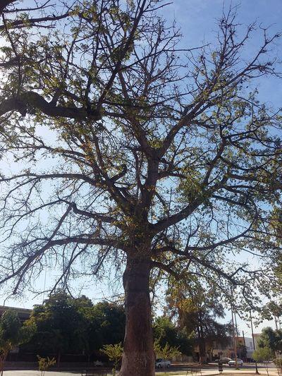 COCORIT,SONORA Tree Oldtree High Nature