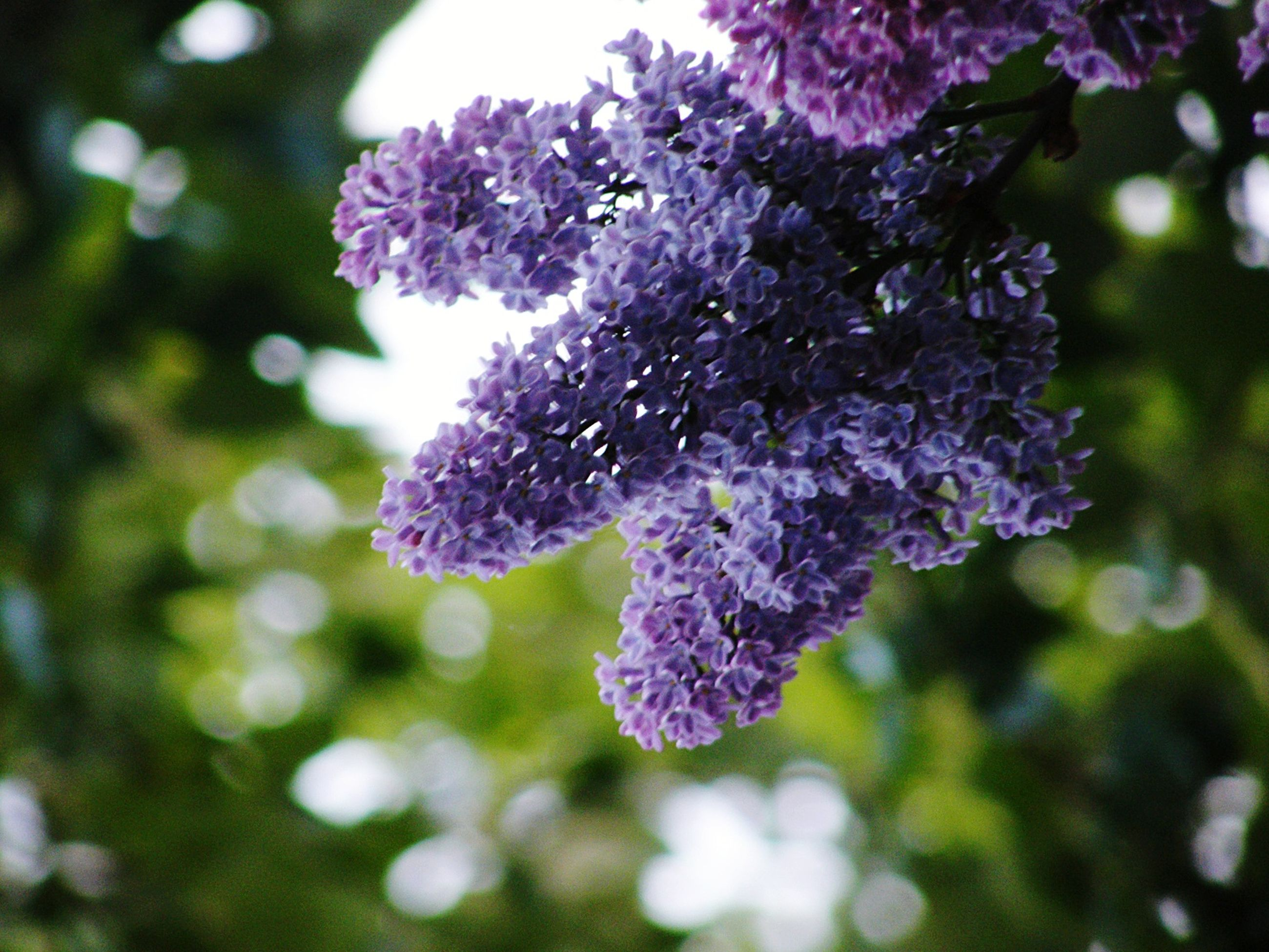 flower, purple, freshness, growth, fragility, beauty in nature, focus on foreground, close-up, nature, tree, blooming, petal, in bloom, branch, blossom, park - man made space, flower head, pink color, plant, day