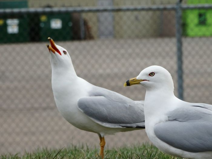 Seagulls with blurred fence in the background