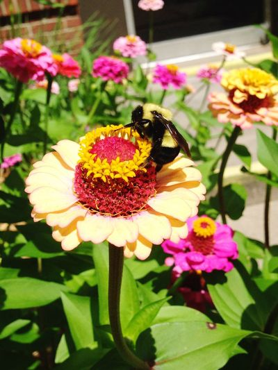 Flower Fragility Petal Flower Head Beauty In Nature Growth Nature Blooming Plant Insect Focus On Foreground No People Pink Yellow Vibrant Color Vibrant Colors Vibrant Bumblebee Summertime Minnesota Downtown Flowers EyeEmNewHere Sommergefühle