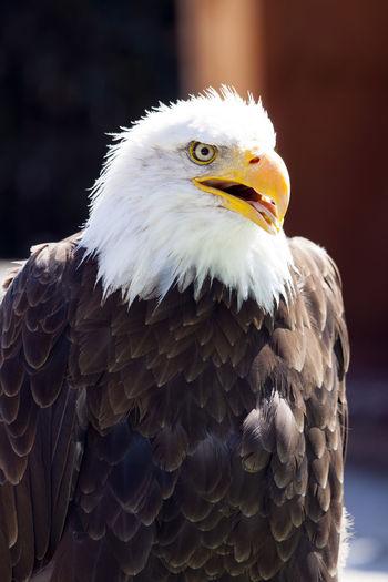 Alert Bald Eagle Looking Away