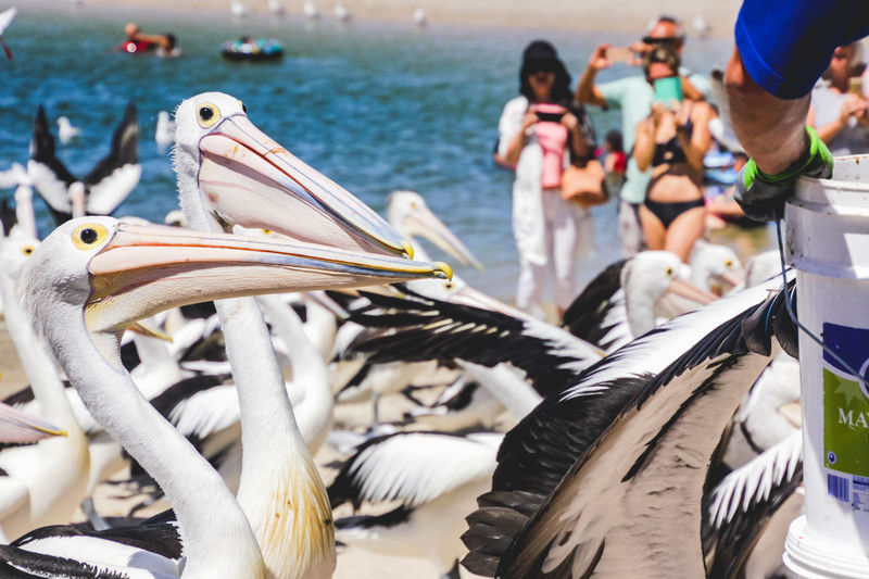 close up of pelicans at a local beach waiting for a regular feed by a local fish market Vertebrate Animal Wildlife Animals In The Wild Bird Group Of Animals Focus On Foreground Day Water Pelican Real People Incidental People Group Of People Nature Sea Beach People Outdoors Beak