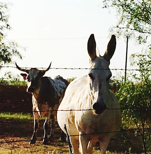 Pet Portraits Ranch Pets Agriculture Livestock No People Looking At Camera Mammal Tranquility Beauty In Nature