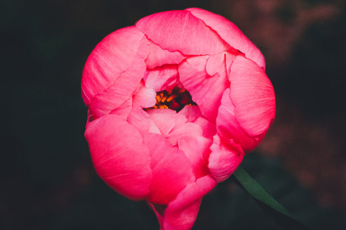 Beauty In Nature Beauty In Nature, Blooming Buzzing Close-up Day Flower Flower Head Focus On Foreground Fragility Freshness Growth Nature No People Outdoors Peony  Petal Plant Pollination Wildlife