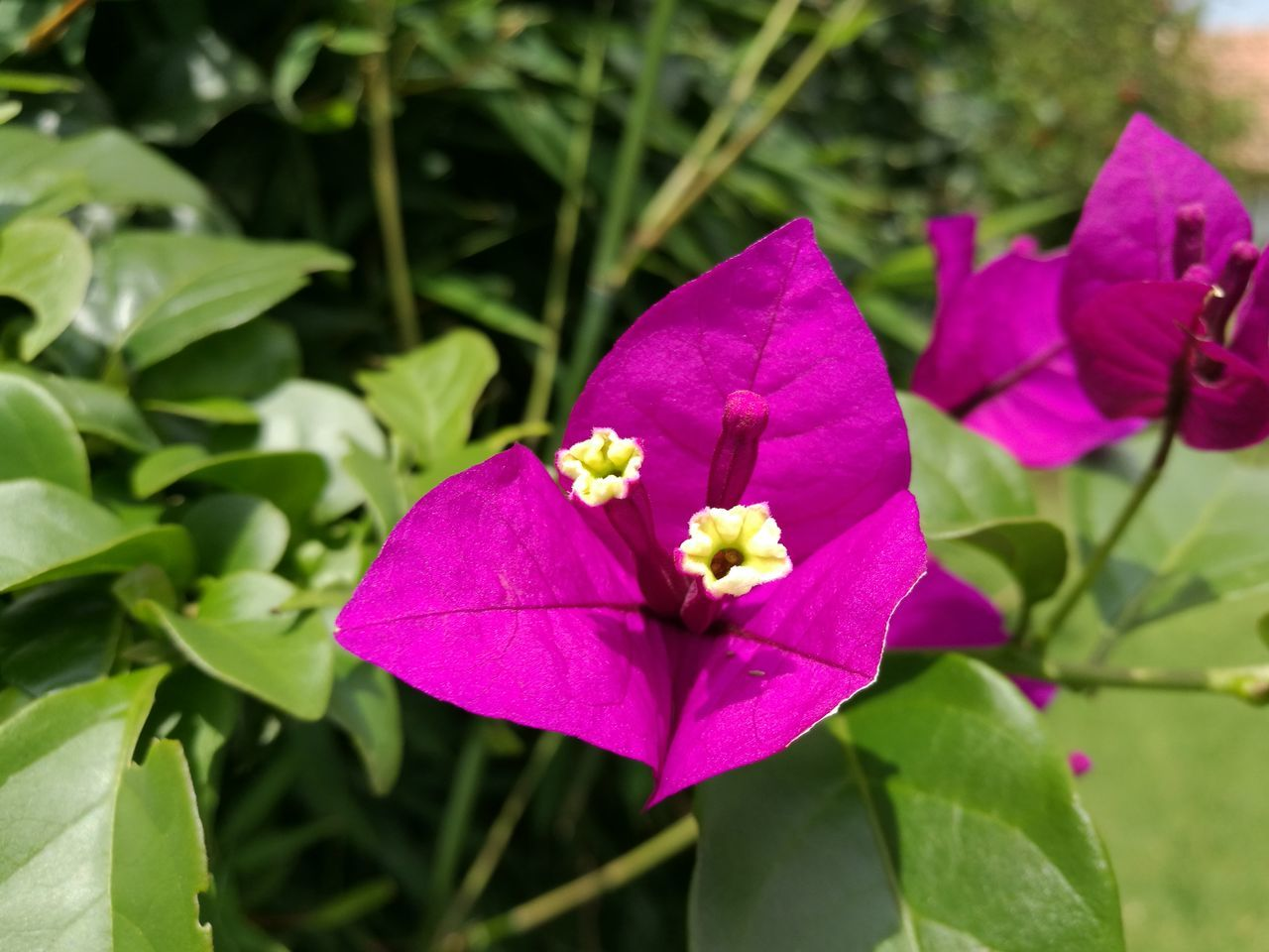 flower, petal, growth, fragility, leaf, beauty in nature, flower head, nature, freshness, close-up, day, no people, plant, focus on foreground, outdoors, blooming, periwinkle