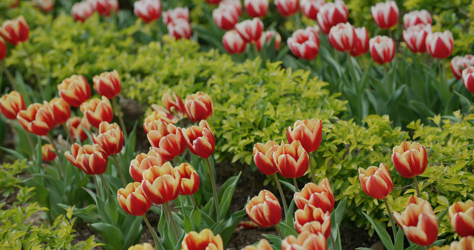 Close-up of tulips in field