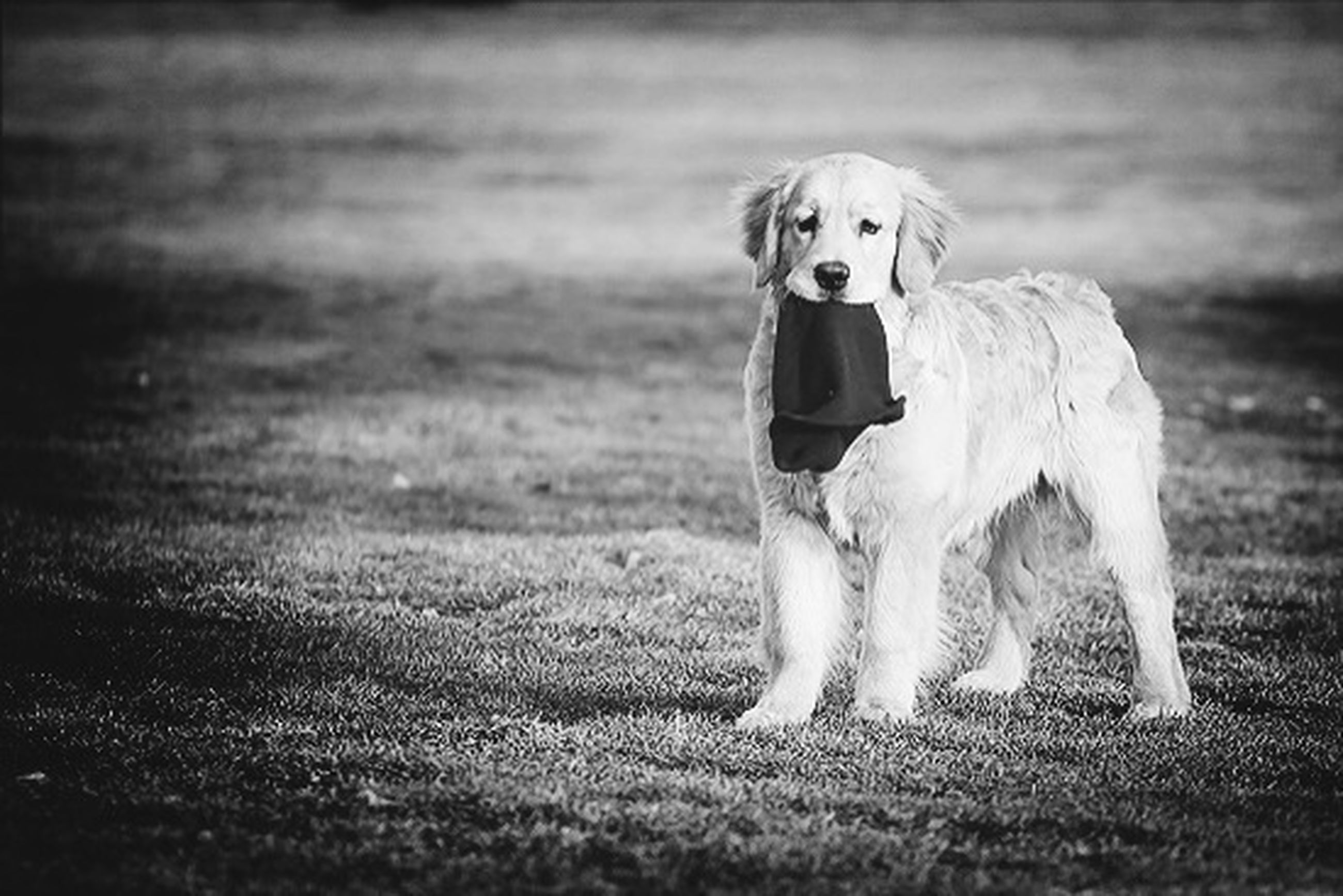 grass, domestic animals, animal themes, dog, pets, mammal, field, one animal, grassy, full length, standing, portrait, nature, focus on foreground, outdoors, front view, day, looking at camera, running, sitting