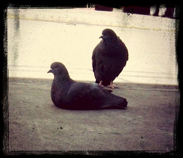 Otra de palomas Birds