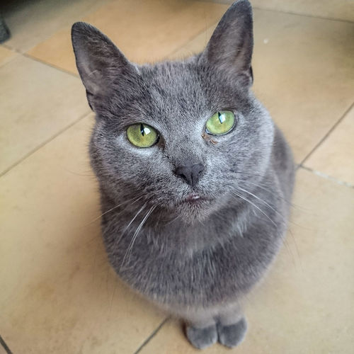 Animal Themes Begging For Food Cat Close-up Day Domestic Domestic Animals Domestic Cat Feline Green Eyes Grey Cat Indoors  Looking At Camera Mammal No People One Animal Pets Portrait Sitting Whisker Pets Corner