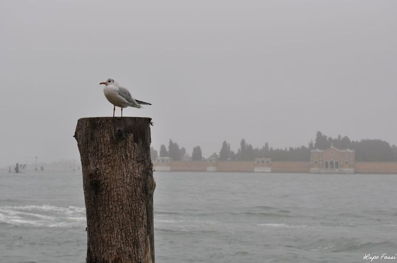 #lagoon #Venice #Venezia #Italy #Italia #Europe Animal Animal Themes Animal Wildlife Bird Day No People One Animal Outdoors Perching Sea Sea Bird Sea Life Seagull Sky Water Wooden Post First Eyeem Photo