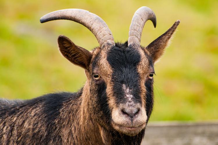 Close-Up Portrait Of Goat