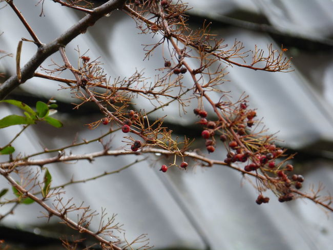 Last fire thorn - Feuerdorn - berries in rainy spring garden .. :-) Animal Food Beauty In Nature Bird Food Branch Bushes And Trees Close-up Coming And Going Day Feuerdorn Fire Thorn Freshness Garden Photography Gone But Never Forgotten Good Bye Good Bye Winter Growth Last Berries Nature Nature Photography No People Outdoors Plant Rainy Day Springtime Tree
