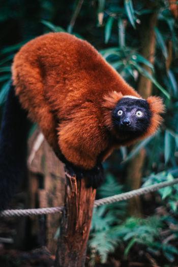 Beautiful Looking At Camera Zoo Zürich Animal Themes Bokeh Madagascar  Pole Red Ruffed Lemur