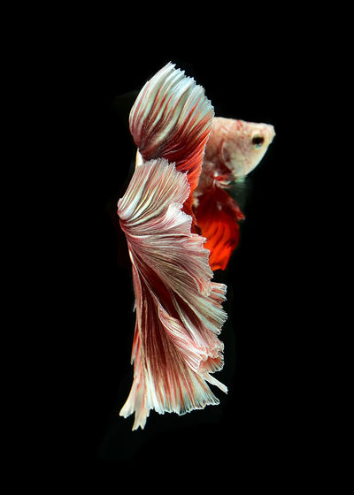 Close-up of siamese fighting fish swimming underwater against black background