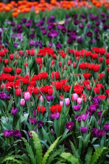 Tulips No People No Person Day Red Flower Red Tulips Flower Head Flower Flowerbed Springtime Field Purple Red Poppy Multi Colored Close-up Plant Life In Bloom Flowering Plant