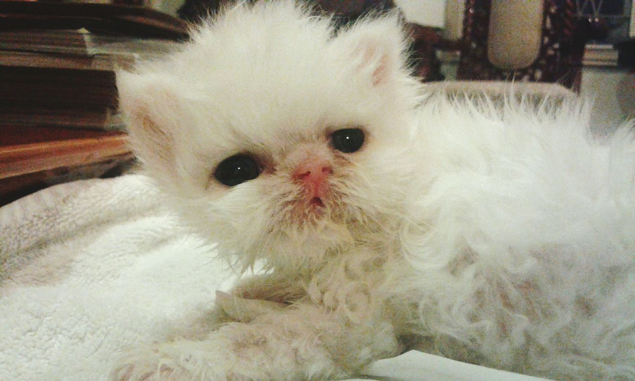 Persian Cats Kitten White