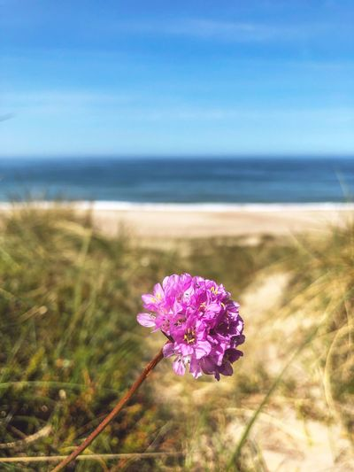 Beach Flower Beach Flowers Beach Flowering Plant Flower Plant Beauty In Nature Freshness Fragility Nature Growth Focus On Foreground Pink Color Sky Day Flower Head Petal Inflorescence Tranquility Land Close-up No People Vulnerability