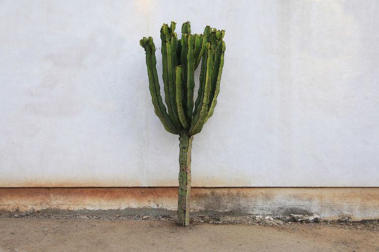 Cactus solo