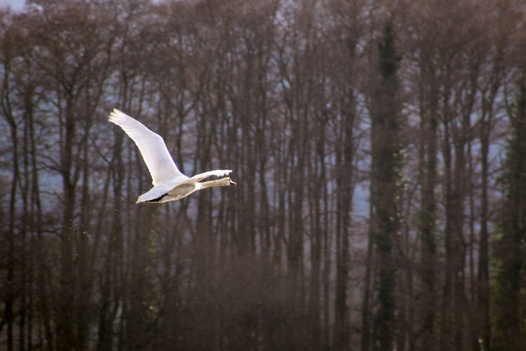White Swans Feather  Lakeside EyeEm Best Shots EyeEm Nature Lover EyeEmBestPics EyeEm Best Shots - Nature Beauty In Nature Wonders Of Nature Bird Spread Wings Tree Flying Forest Winter Animal Themes Close-up Animal Wing Flapping Mute Swan