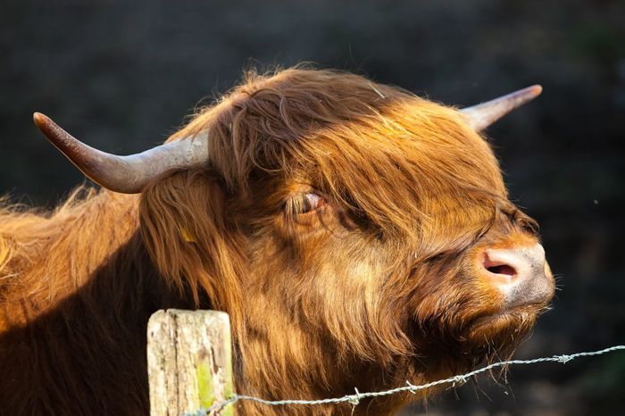 Agriculture Animal Body Part Animal Head  Animal Themes Cattle Close-up Day Domestic Animals Highland Cattle Horned Livestock Mammal No People One Animal Outdoors Rural Scene