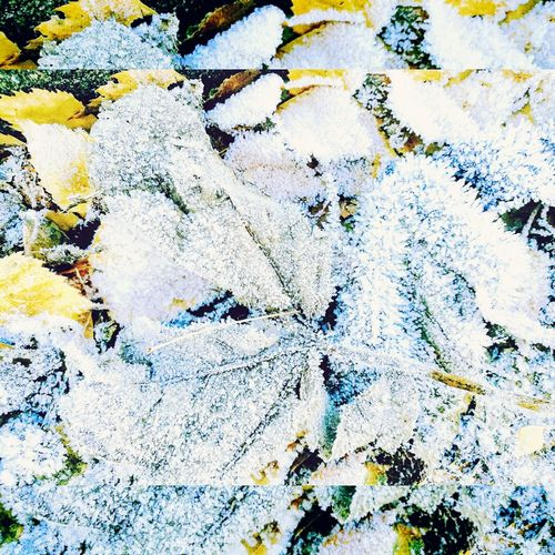Febuary Frost❄🍂 Nature Close-up Frosted Nature Beauty Of Nature Beautifully Organized Yellow Leaves Cold Crisp Winters Air Outdoors Framed View Winter Bristol, England Uk Paint The Town Yellow