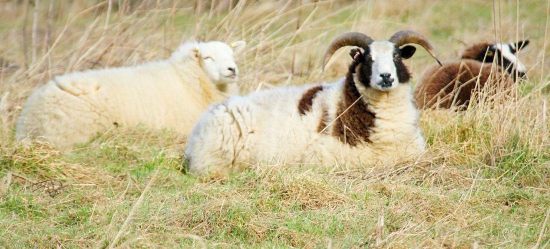 Grass Animal Themes Sheep Horned Animals Grazing Sheep Grazing Mammal Field Day Nature Outdoors No People Animals Livestock