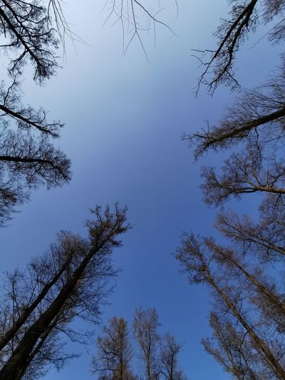 Tree Blue Forest Tree Area Pine Tree Pinaceae Branch Clear Sky Sky Directly Below Calm Bare Tree Tranquil Scene Treetop Countryside Skylight Lone Tranquility Tree Trunk