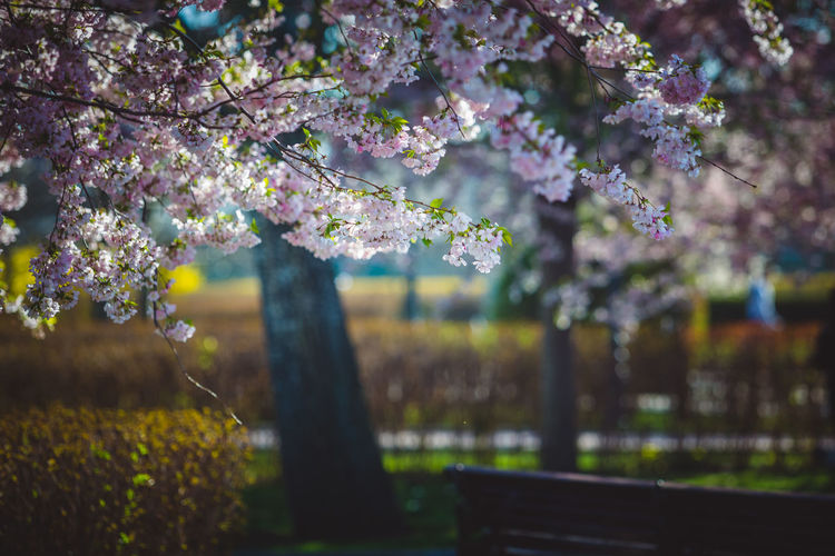 Close-up of cherry blossom tree in park